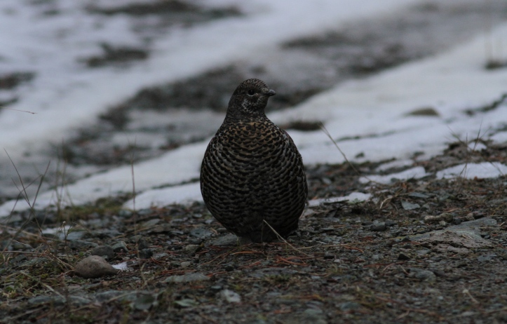 Spruce Grouse ghhgj3.JPG