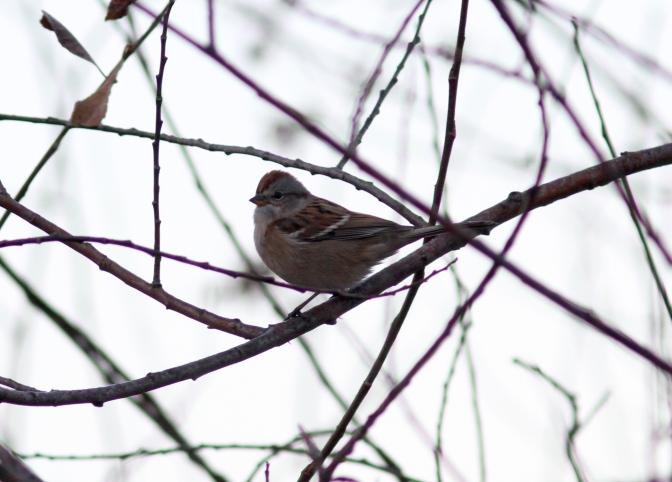 American tree Sparrow jhhhk3.JPG