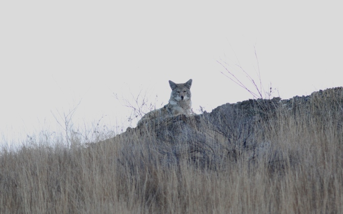 Coyote hggh3.JPG