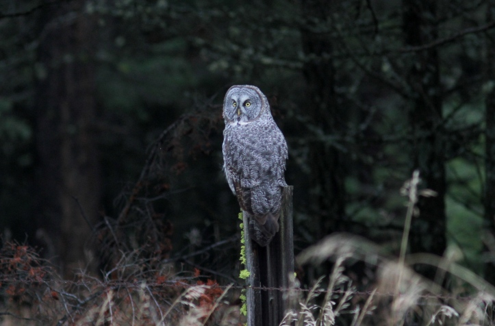 Great Gray Owl 88