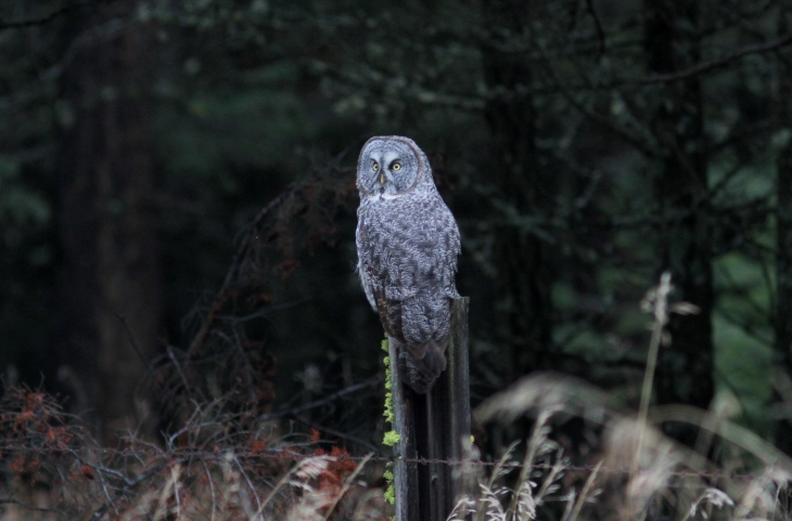 Great Gray Owl 88