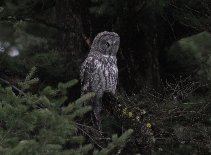 Great Gray Owl 94