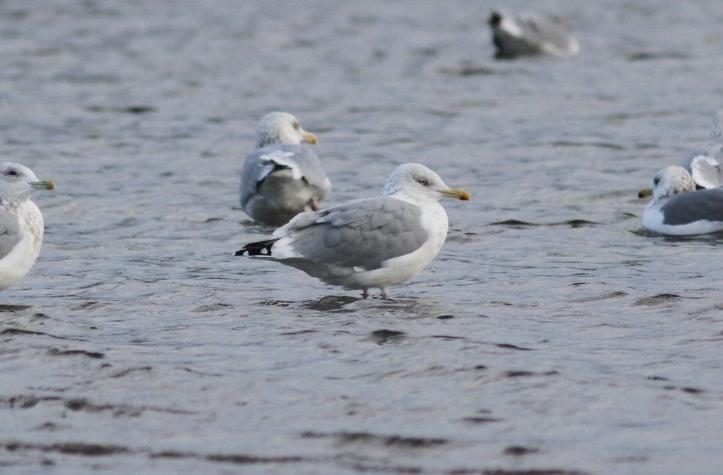 Herring Gull 104.JPG
