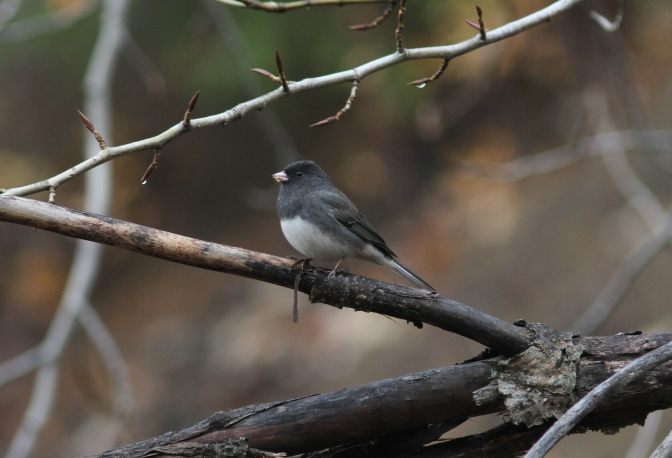 Slate-coloured Junco jgh3.JPG