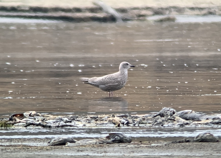 Thayer's gull hhg3.jpeg