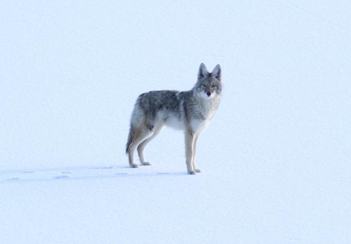 Coyote hkghg3.JPG