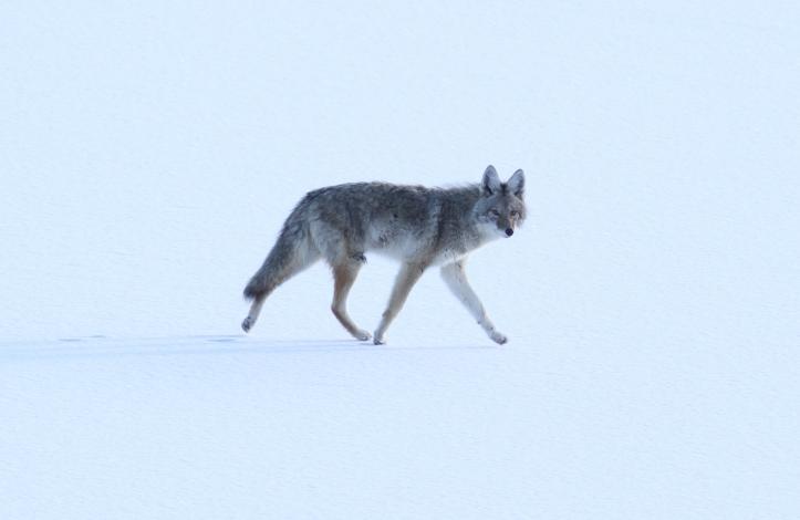 Coyote khgj3.JPG
