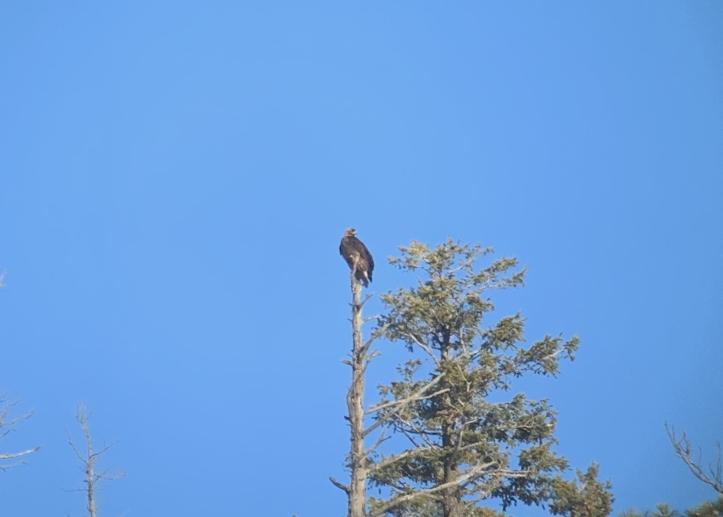 Golden Eagle 1.jpeg