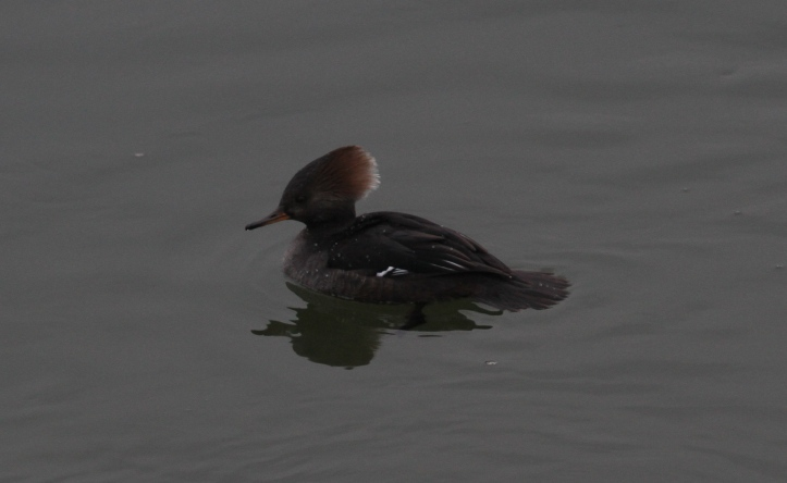 Hooded Merganser khkh3.JPG