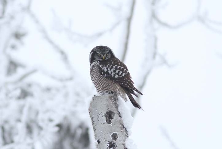 Northern Hawk Owl 1 (17).JPG