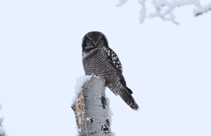 Northern Hawk Owl 1 (34).JPG