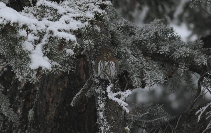 Northern Pygmy Owl ghghjmm333.JPG