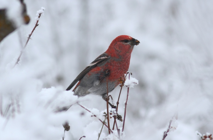 Pine Grosbeak 12 (20).JPG
