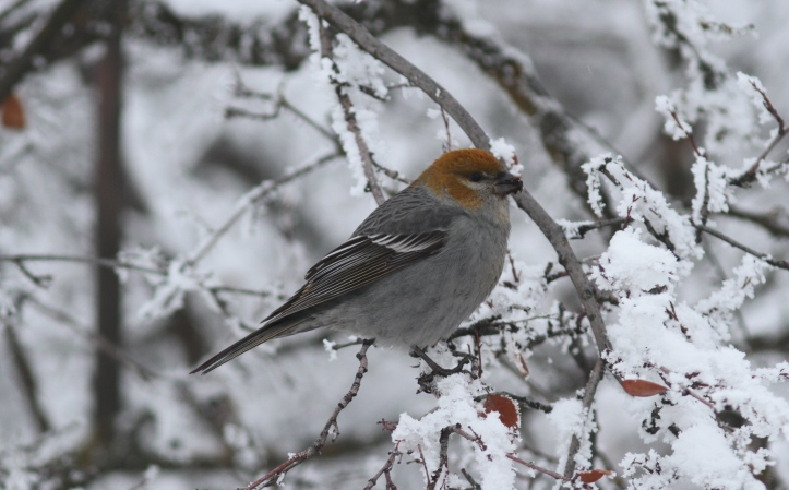Pine Grosbeak 12 (8).JPG