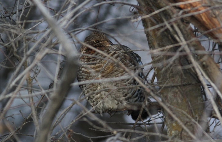 Ruffed grouse jhhhl3.JPG