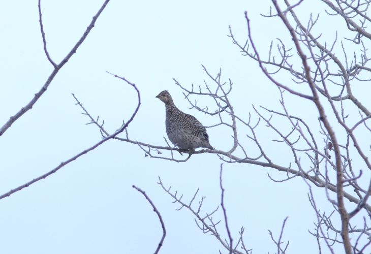 SHarp-tailed grouse ggjjg3aa