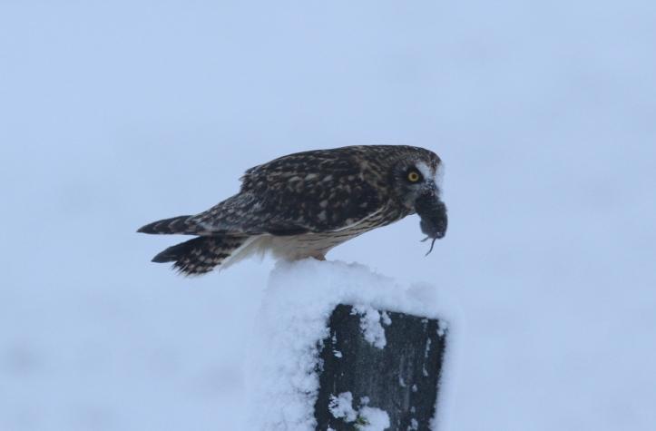 Short-eared Owl 29m (6).JPG