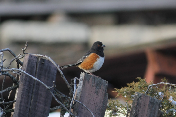 Spotted Towhee fdf2.JPG