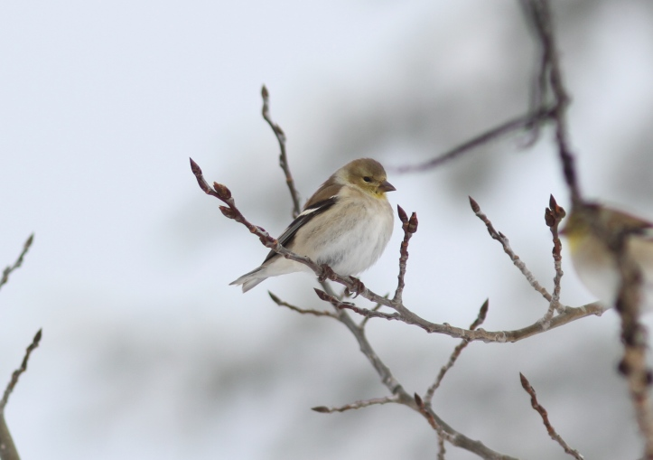 American Goldfinch 13