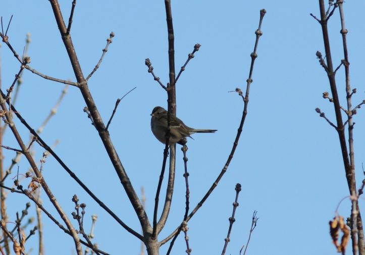 American Tree Sparrow hgh333