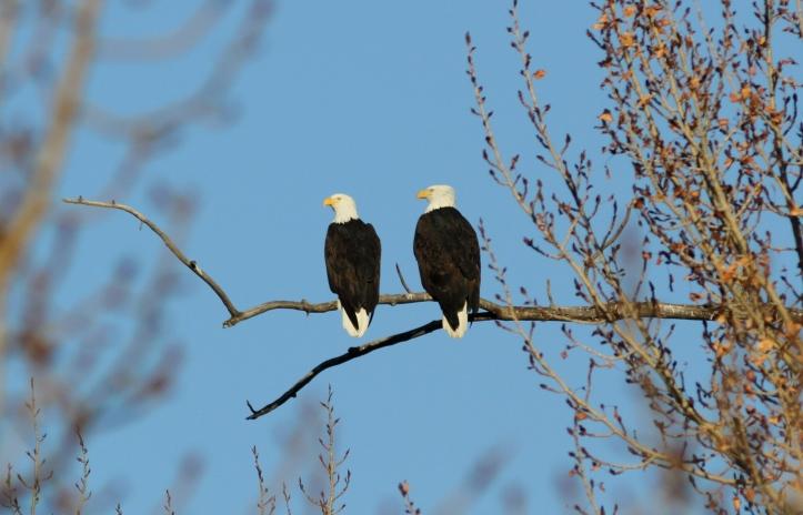 Bald Eagle jkkhg3