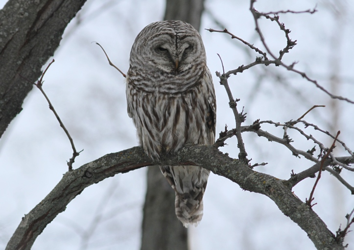 Barred Owl 1 (1)