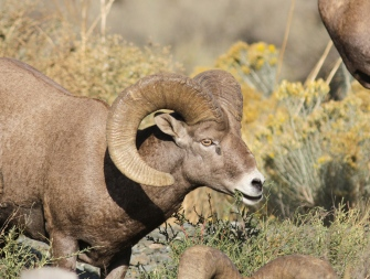 Bighorn Sheep bb3
