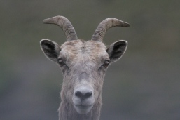 Bighorn Sheep bg3