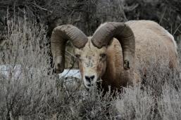 Bighorn Sheep bjv2
