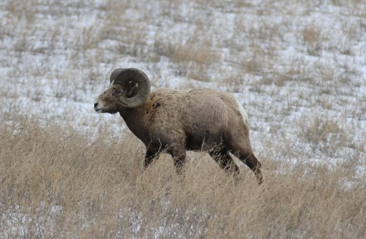 Bighorn Sheep bkhkj3t