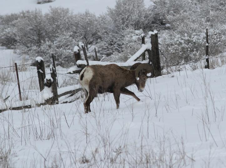 Bighorn Sheep hh99b2.JPG