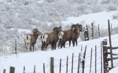 Bighorn Sheep jhggfg2