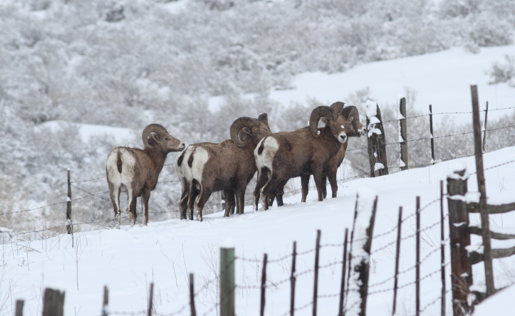 Bighorn Sheep jhggfg2.JPG