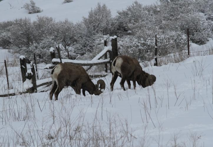 Bighorn Sheep ljhbn2.JPG