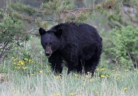 Black Bear hgghgh3ss