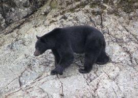 Black Bear hghg3