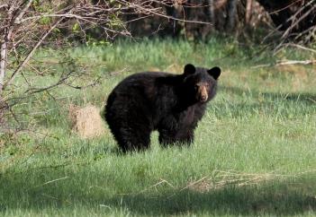Black Bear hkjk3
