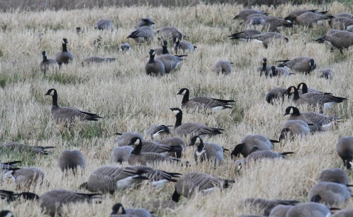 Cackling Geese 12.JPG