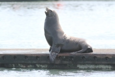 California Sea Lion hhj3