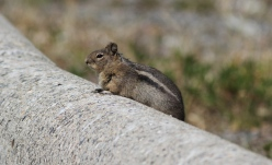 Cascade Golden-mantled Ground Squirrel ghe