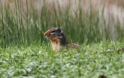 Columbian Ground Squirrel 5nd (1)g