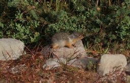 Columbian Ground Squirrel ghh3