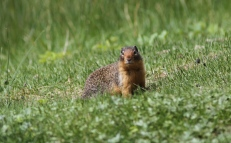 Columbian Ground Squirrel ghjgh2 (1)