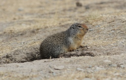 Columbian Ground Squirrel hggre