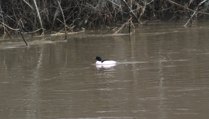 Common Merganser khkh3.JPG