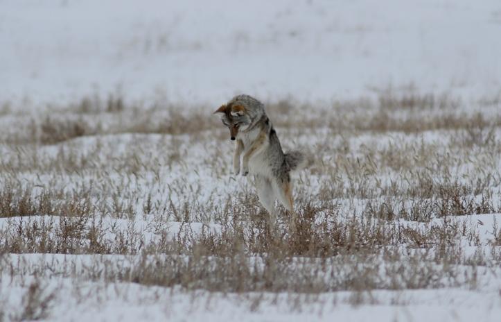 Coyote 32