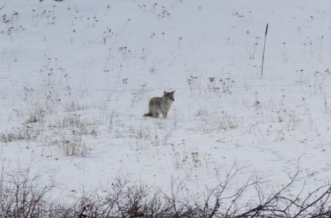 Coyote gjg3