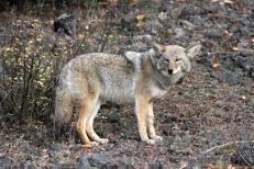 Coyote hj2