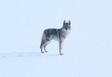 Coyote hkghg3