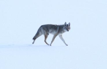 Coyote khgj3